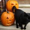 Black cat with jack-o-lanterns