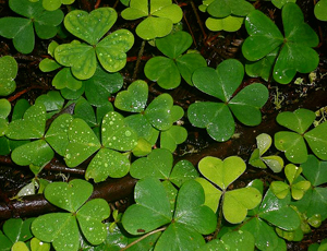 shamrocks in several shades of green